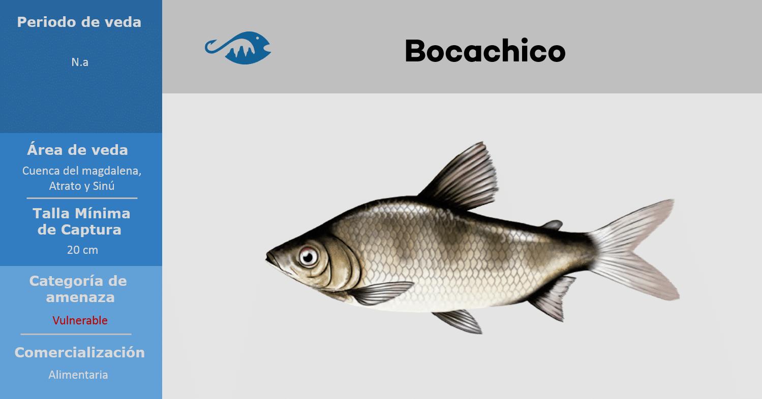veda de pesca pez bocachico