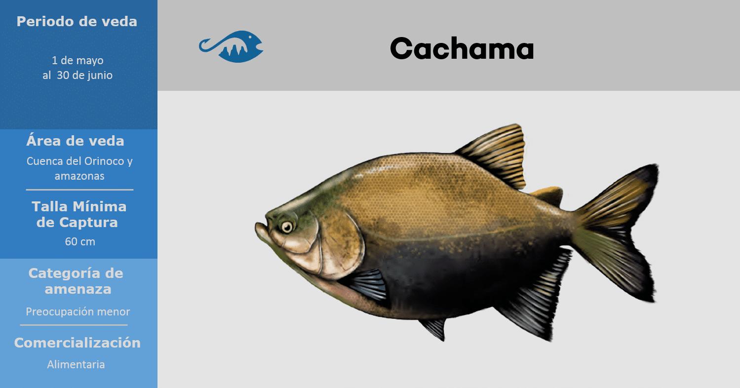 veda de pesca pez cachama
