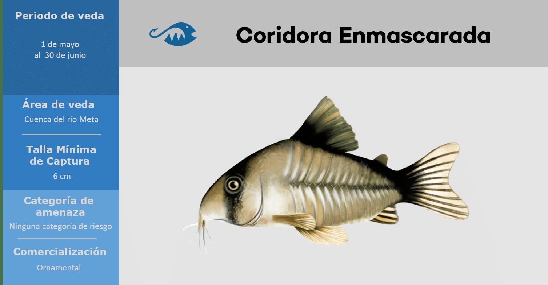 veda de pesca pez coridora enmascarada