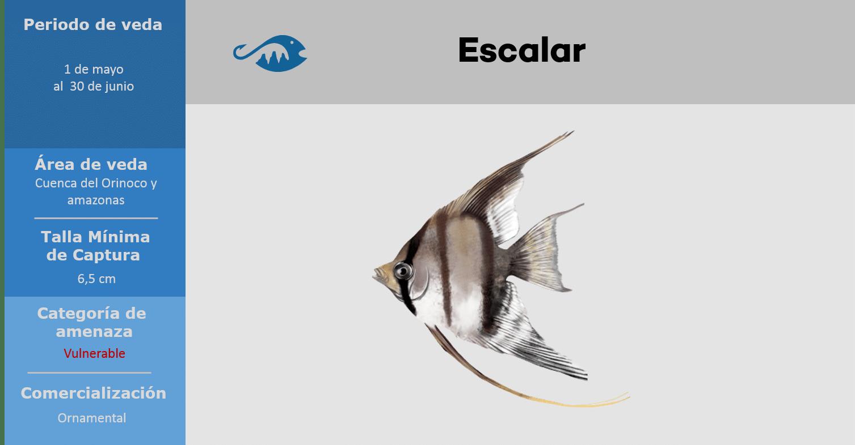 veda de pesca pez escalar