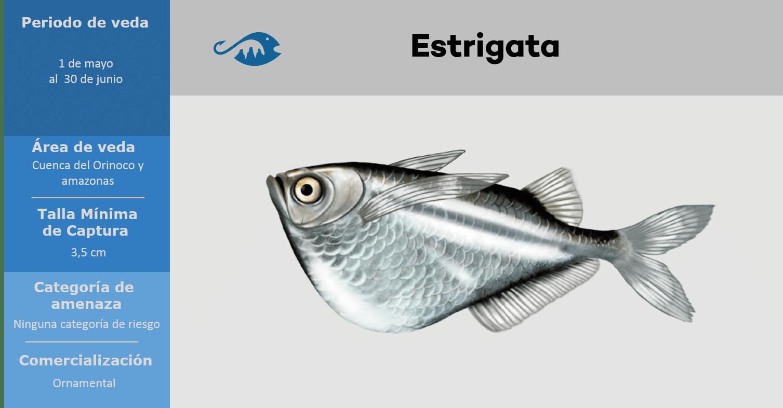 veda de pesca pez estrigata