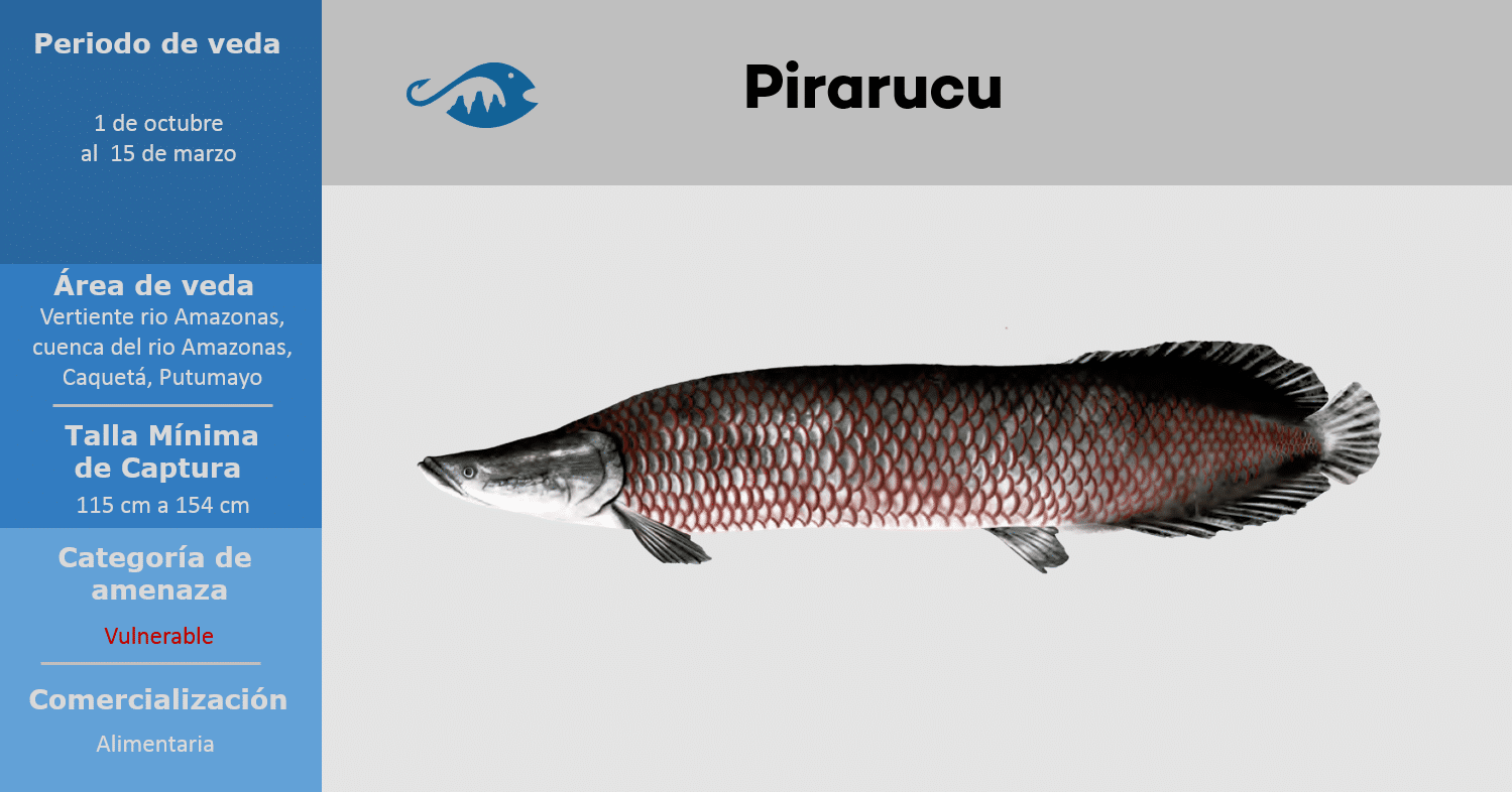 veda de pesca pez pirarucu